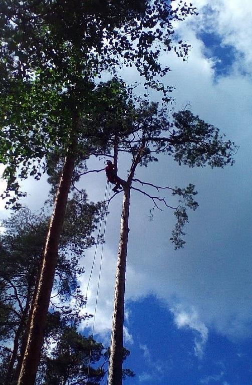 Особенности валки старых деревьев