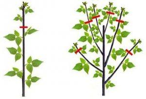 Метод обрезки малины «по Соболеву»