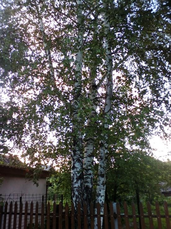 Расчистка деревьев от «уДачников»