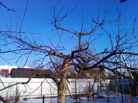 Обрезка яблонь в деревне Ермолино