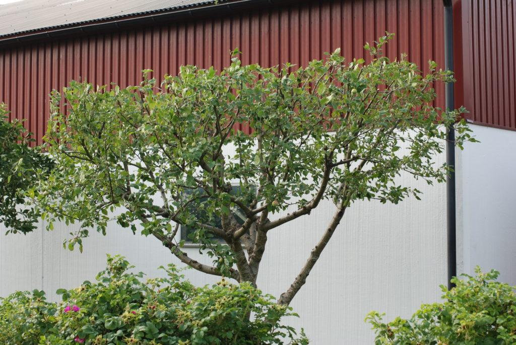 Правильная обрезка плодовых деревьев и ягодных кустарников