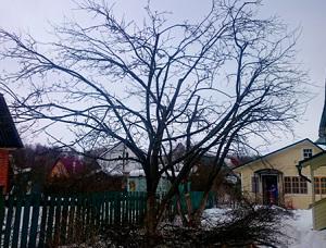 Омолаживающая обрезка яблонь в Подольске